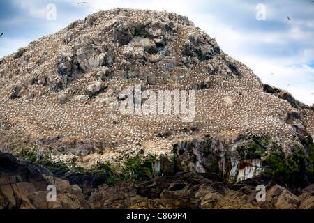 Northern gannet (Morus bassanus) colony. Sept-Iles Bird Sanctuary. Côtes-d'Armor. Brittany, France - Stock Photo