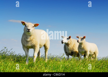 Three little lambs on island Texel, famous for its wool in Holland - Stock Photo