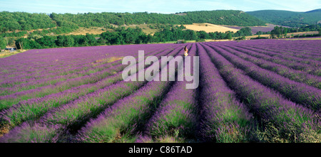 Woman in field of lavender near Villars in Provence. France - Stock Photo