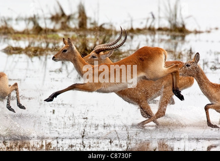 A group of Red Lechwe antelopes (Kobus leche) running through shallow water in the Chobe National Park in Botswana. - Stock Photo