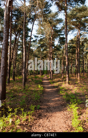 Coniferous woodland at The Sincks in Thetford Forest Park. - Stock Photo