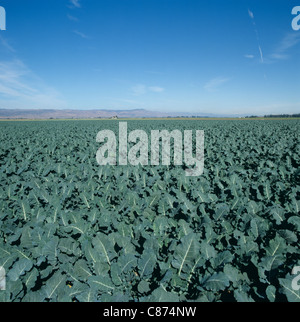Irrigated vegetable farmland with an immature brussel sprout crop in a large field, California, USA - Stock Photo