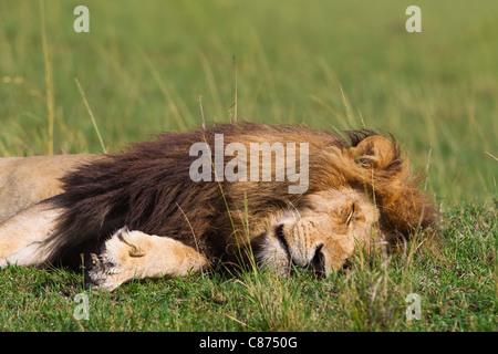 Male Lion Sleeping, Masai Mara National Reserve, Kenya - Stock Photo