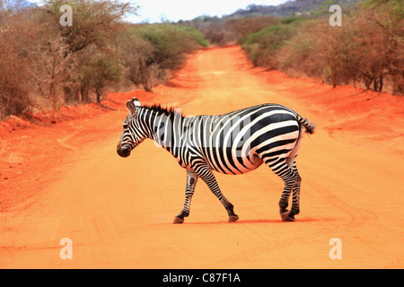 One single Zebra crossing the road in Tsavo West Safari Park, Kenya, Africa - Stock Photo