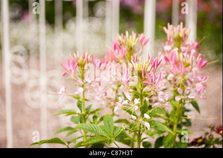 Cleome hassleriana 'Rose Queen' in flower - Stock Photo