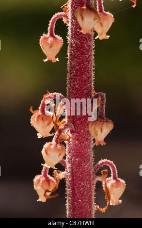 Pinedrops, Albany beechdrops, or giant bird's nest; Pterospora andromedea; a parasite or myco-heterotroph, in pine woods