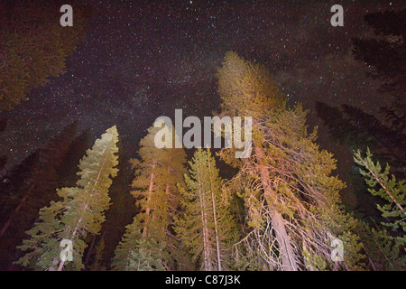 Mixed conifer forest at 6500 ft in the Sierra Nevada, mainly Lodgepole Pines, California by night showing stars. - Stock Photo