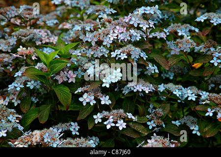 Hydrangea serrata 'Tiara' AGM at RHS Rosemoor - Stock Photo