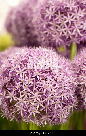Allium 'Globemaster' in flower - Stock Photo