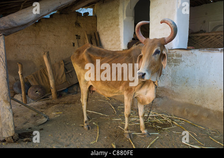 Cow with curved horns in home farm in Narlai village in Rajasthan, Northern India - Stock Photo