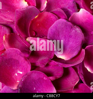 full frame studio photography showing lots of intense violet rose petals - Stock Photo