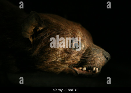 Stuffed Tasmanian devil (Sarcophilus harrisii) in the Great Gallery of Evolution in Paris, France. - Stock Photo