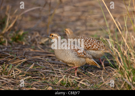 Grey Francolin Partridges, Francolinus pondicerianus, in Ranthambhore National Park, Rajasthan, Northern India - Stock Photo