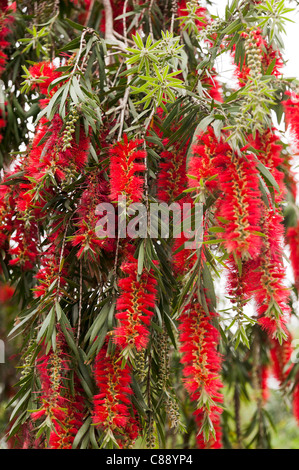 Beautiful Red Drooping Flowers of a Weeping Bottlebrush Tree in a Garden in Hong Kong Island China Asia - Stock Photo