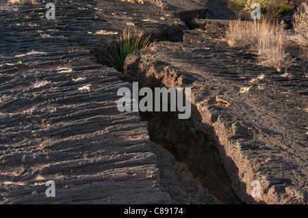 Sotol growing in a deep crack in pahoehoe lava field, Carrizozo Malpais lava flow, Valley of Fires, New Mexico, - Stock Photo