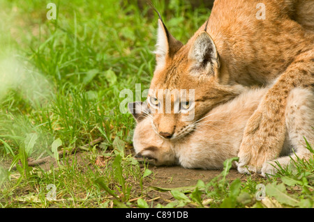 Eurasian Lynx mother moving kitten in mouth - Stock Photo