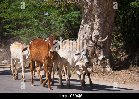 Sacred cows on the move walking along the highway in Jaipur, Rajasthan, Northern India