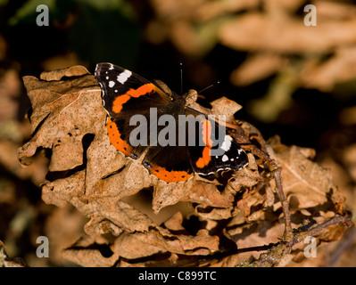 Red Admiral butterfly, Vanessa atalanta, basking on dead leaves, autumn. Dorset. - Stock Photo