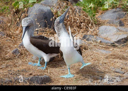 Blue-footed Boobies (Sula nebouxii) courtship dance - Stock Photo