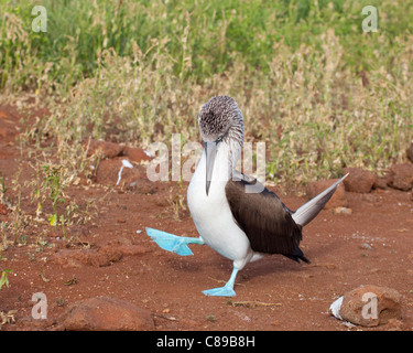 Blue-footed Booby (Sula nebouxii) courtship dance - Stock Photo