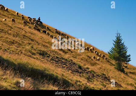 Traditional landscape of a sheep herd in Romania - Carpathian Mountains - Stock Photo