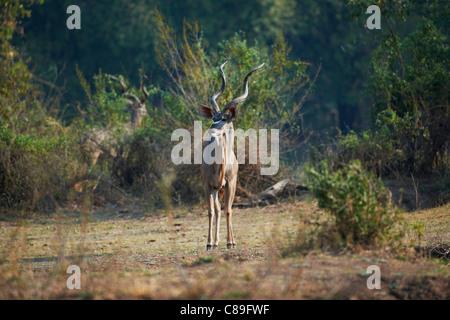 male Greater Kudu, Tragelaphus strepsiceros, South Luangwa National Park, Zambia, Africa - Stock Photo