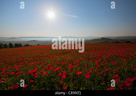 Italy, Tuscany, Crete, View of red poppy field at sunrise