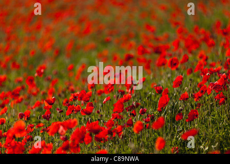 Italy, Tuscany, Crete, View of red poppy field