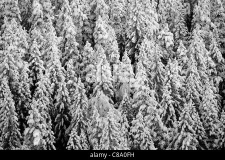 High angle view of dense boreal spruce ( picea abies ) forest at Winter (-25C) , Finland - Stock Photo
