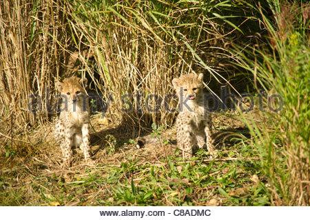 Cheetah (Acinonyx jubatus) cubs hiding in long grass. - Stock Photo