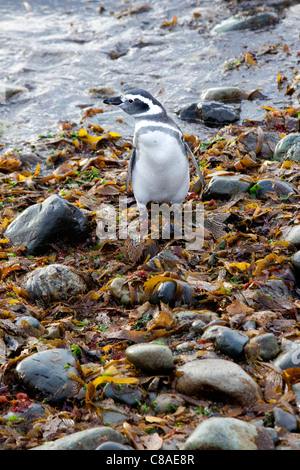 Magellanic Penguin in Chile - Stock Photo