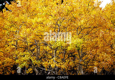 Aspens leaves changing color in Rocky Mountain National Park near Estes Park in Colorado, October, 2011. Shot on - Stock Photo