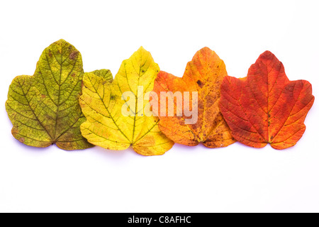 The changing colour of Autumn leaves isolated on a white background. - Stock Photo