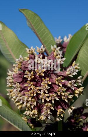Common Milkweed flowers Asclepias syriaca Michigan USA - Stock Photo