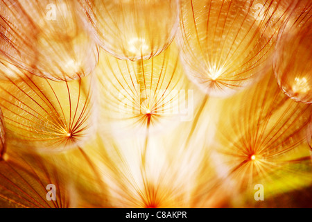 Soft dandelion flower, extreme closeup, abstract spring nature background - Stock Photo