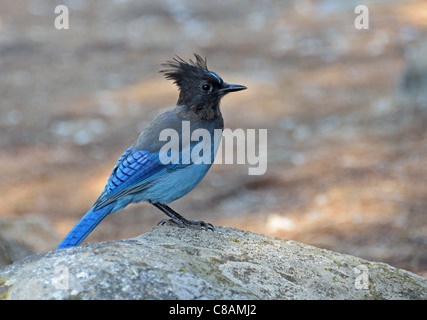 A stellar Jay on a rock in Kings Canyon California - Stock Photo