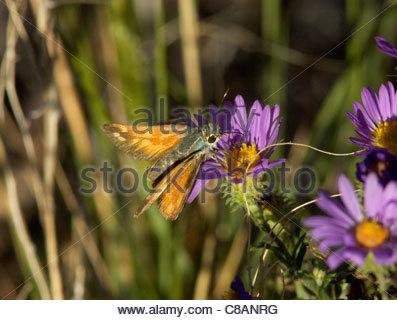 Apache Skipper Hesperia woodgatei Butterfly Arizona - Stock Photo