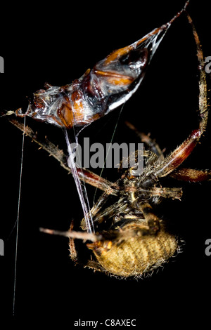 Orb Weaver Spider wrapping up prey - Stock Photo