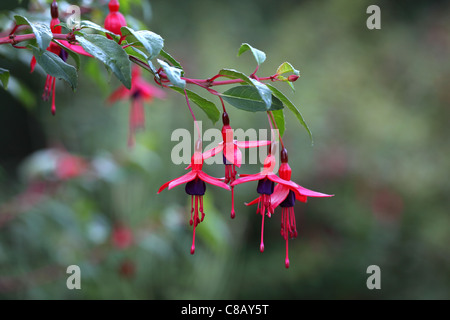 Close up of a Fuchsia in flower - Stock Photo