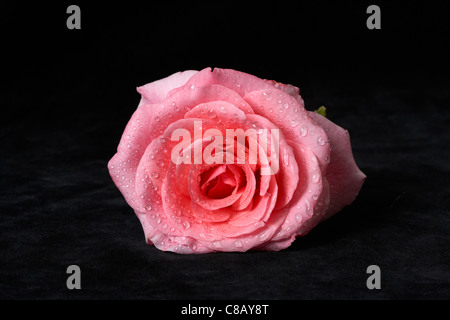 Pink Rose on black background with water drops - Stock Photo
