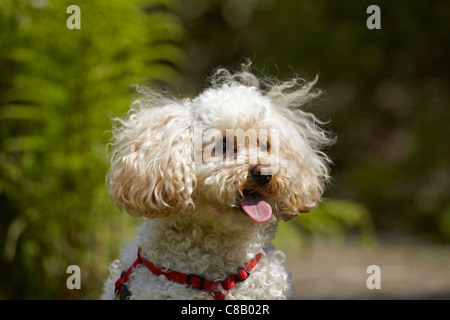 Toy Poodle in a Garden in Wales, UK - Stock Photo