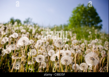Dandelions blowballs seed heads old flowers - Stock Photo