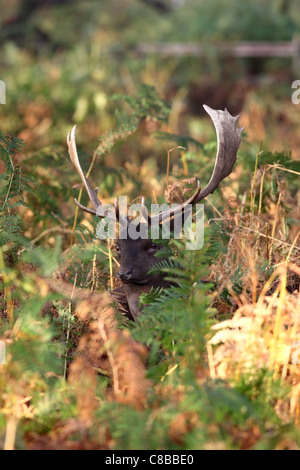 Fallow Deer Stag Dama Dama Surrounded by Bracken in Autumn UK - Stock Photo