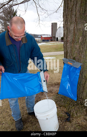 Worker pouring collected maple sap into a bucket for processing at Lake Odessa, Michigan, USA. - Stock Photo