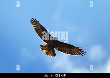 Common buzzard (Buteo buteo) in flight, Germany - Stock Photo