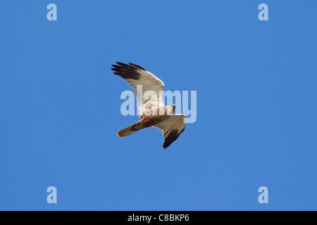 Western Marsh-harrier (Circus aeruginosus) male in flight, Germany - Stock Photo