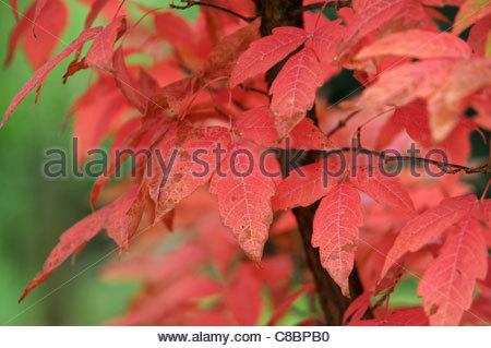 Acer griseum Paper bark maple leaves in Autumn Uk - Stock Photo