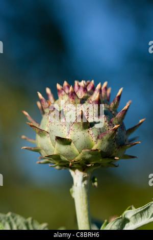Close up of Globe Artichoke - Stock Photo