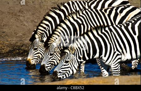 Zebras drinking at the waterhole in Hwange National Park, Zimbabwe - Stock Photo