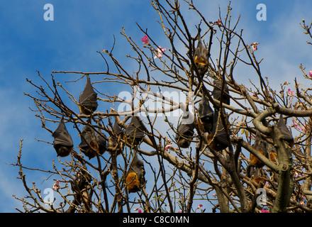 Grey headed Flying Foxes (fruit bats) pteropus poliocephalus roosting in Sydney Botanic Gardens Australia - Stock Photo